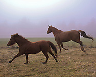 horse and pony cantering together