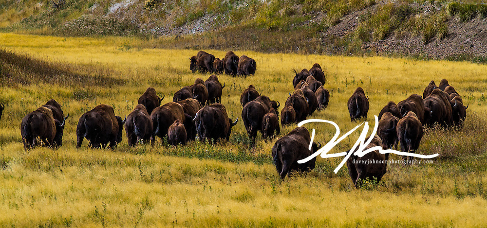 A herd of free roaming Bison moving through the meadow is a sight rarely seen outside of Yellowstone