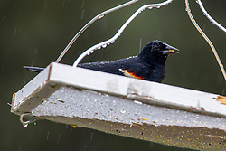 Red-winged Blackbird (Agelaius phoeniceus) at the bird feeder during a rain shower in the spring