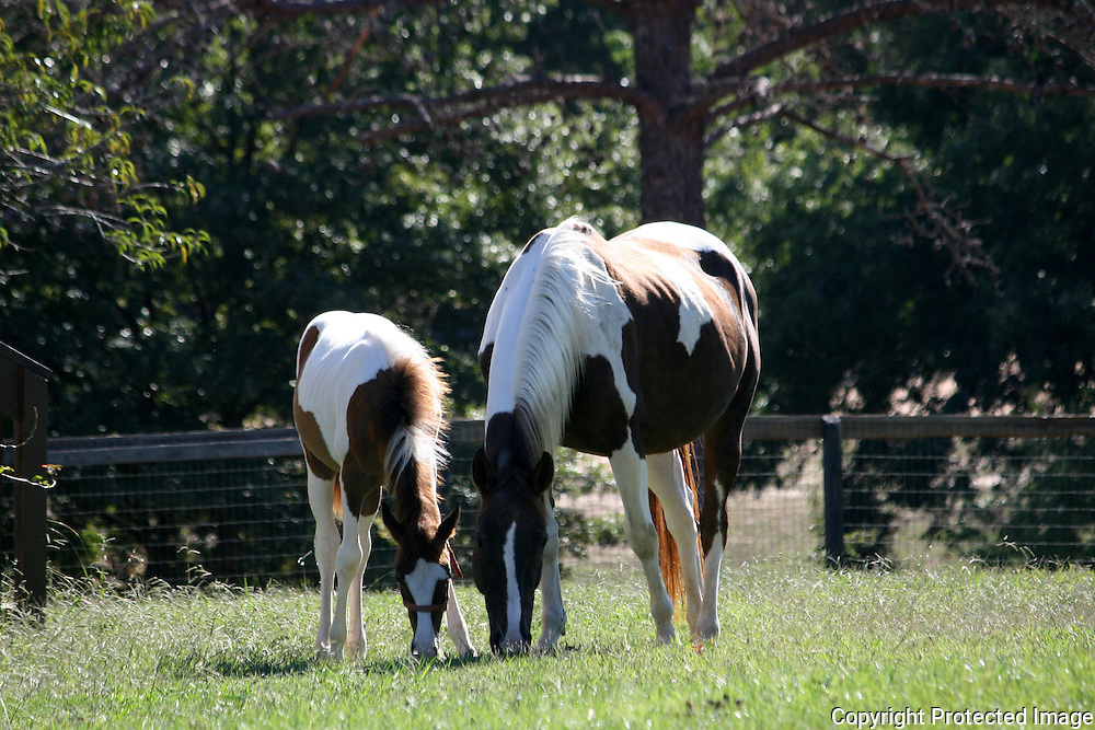 Quarterhorse mare and her foal grazing in a field.