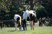 Quarterhorse mare and her foal grazing in a field.