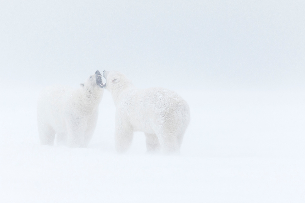 Two polar bears fighting in a snowstorm, Alaska National Wildlife Refuge, USA.