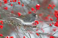 01569-01709 Dark-eyed Junco (Junco hyemlis) in Common Winterberry bush (Ilex verticillata) in winter, Marion Co., IL