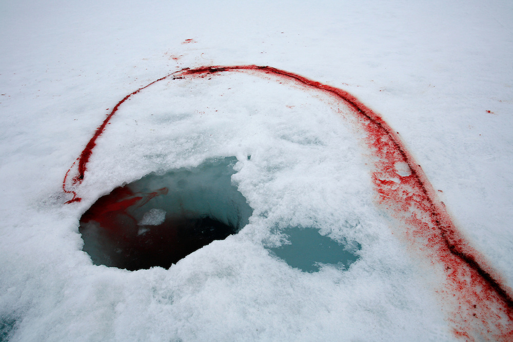 A trail of blood left by a seal runs along on the ice next to a breathing hole in Resolute Bay, Canada on Tuesday, June 12, 2007.  Inuit hunters often stands next to the breathing hole of the seal without moving for 30 minutes or more to capture the animal with with a hooked stick when it rises to the surface to breathe.  The Inuit hunt seals for food, and their community uses every part of the seals, either eating the meat or using the hides to make warm clothes.  .... The traditional way of life in the Resolute Bay Inuit community is being threatened by rising temperatures.  The dangers of global warming, which have been extensively documented by scientists, are appearing first, with rapid, drastic effects, in the Arctic regions where Inuit people make their home.  Inuit communities, such as those living on Resolute Bay, have witnessed a wide variety of changes in their environment.  The ice is melting sooner, depleting the seal population and leaving them unable to hunt the animals for as long.  Other changes include seeing species of birds and insects (such as cockroaches and mosquitoes) which they have never encountered before.  The Inuit actually lack words in their local languages to describe the creatures they have begun to see.