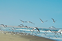 Animals, gulls flying over beach.<br />