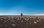 Short tree and landscape at Craters of the Moon National Monument, Idaho