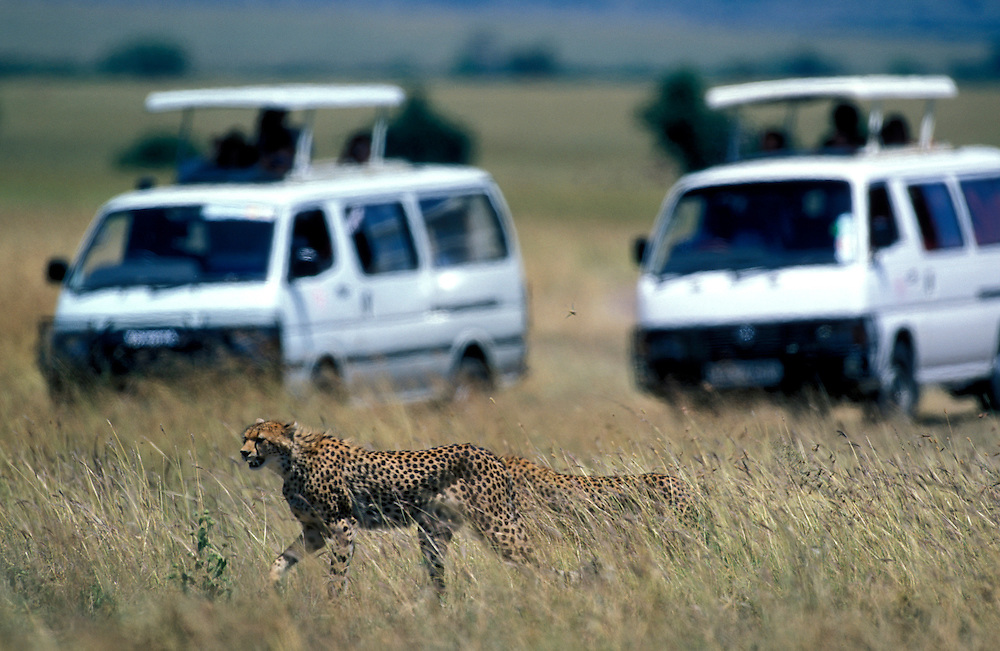 Africa, Kenya, Masai Mara Game Reserve, Safari trucks surround Cheetah (Acinonyx jubatas) on savanna