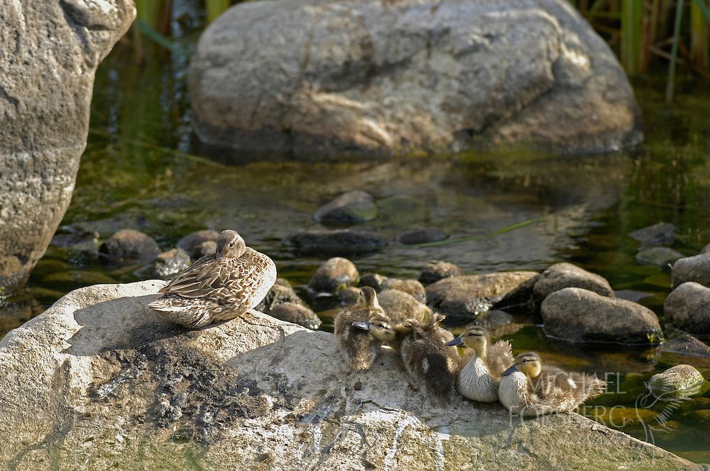 Prairie pothole region - Missouri coteau..A Blue-winged teal and her brood rest on a boulder (glacial erratic) in a pothole wetland...Stutsman County
