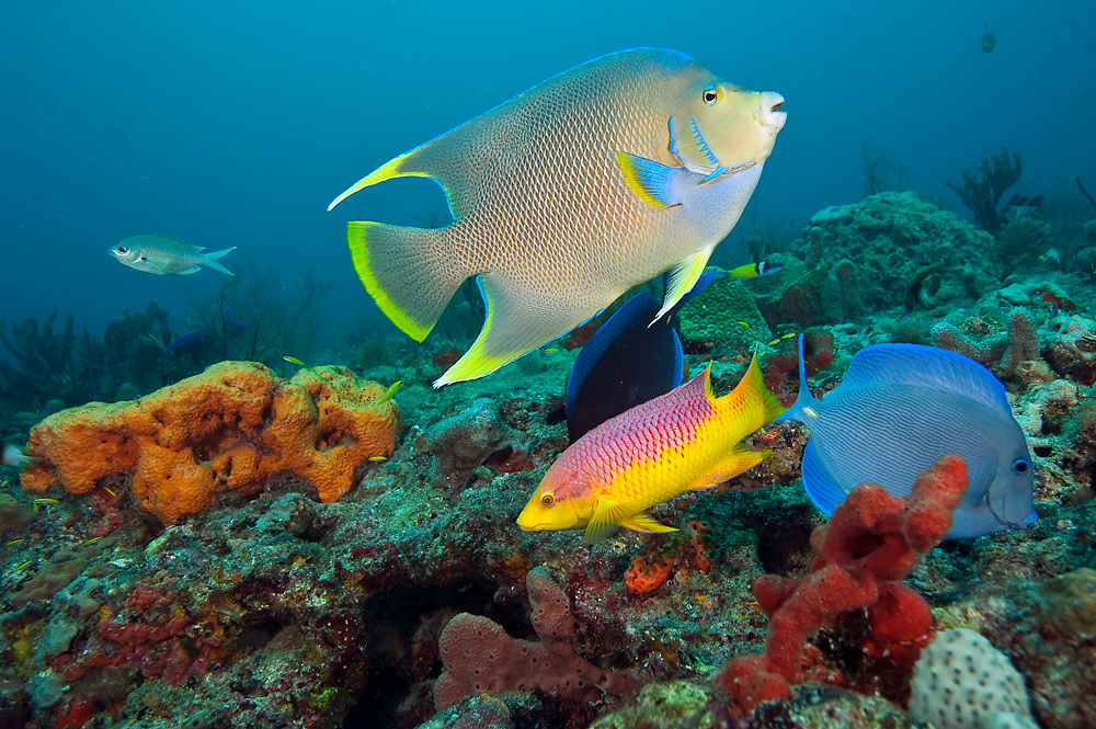 A Blue angelfish, Holacanthus bermudensis, and other tropical fish swim on a Palm Beach County, Florida coral reef.