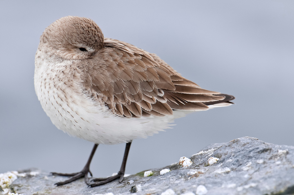 Dunlin, Calidris alpina, sleeping, Barnegat Light, New Jersey