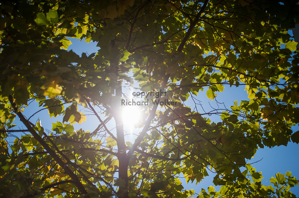 2016 October 11 - Sun shines through a tree's leaves and foliage, University District, Seattle, WA, USA. By Richard Walker