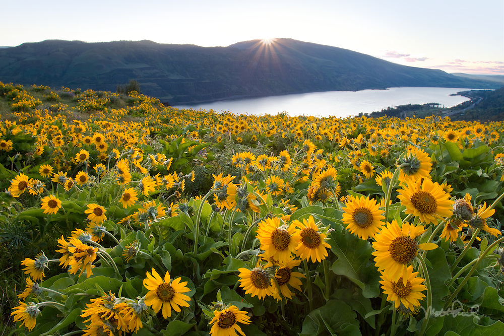 Spectacular Columbia Gorge wildflowers in the spring grace the magnificent Rowena plateau overlooking the Columbia River.