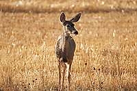 A young Mule Deer stands at the edge of a fresh cut wheat field in an upper mountain valley.