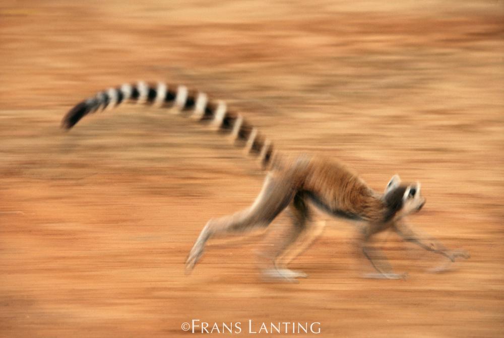 Ring-tailed lemur running, Lemur catta, Berenty Reserve,Madagascar