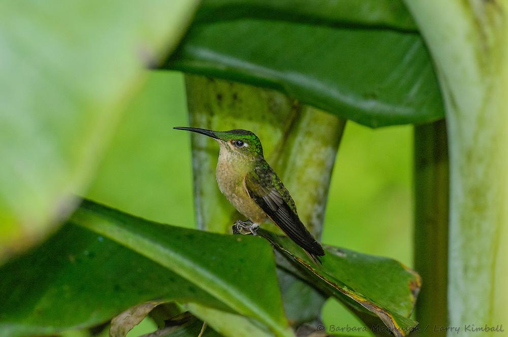 Fawn-Breasted Brilliant Hummingbird [Heliodoxa rubinoides ssp. cervinigularis] female; perched, Cabanas San Isidro, Ecuador