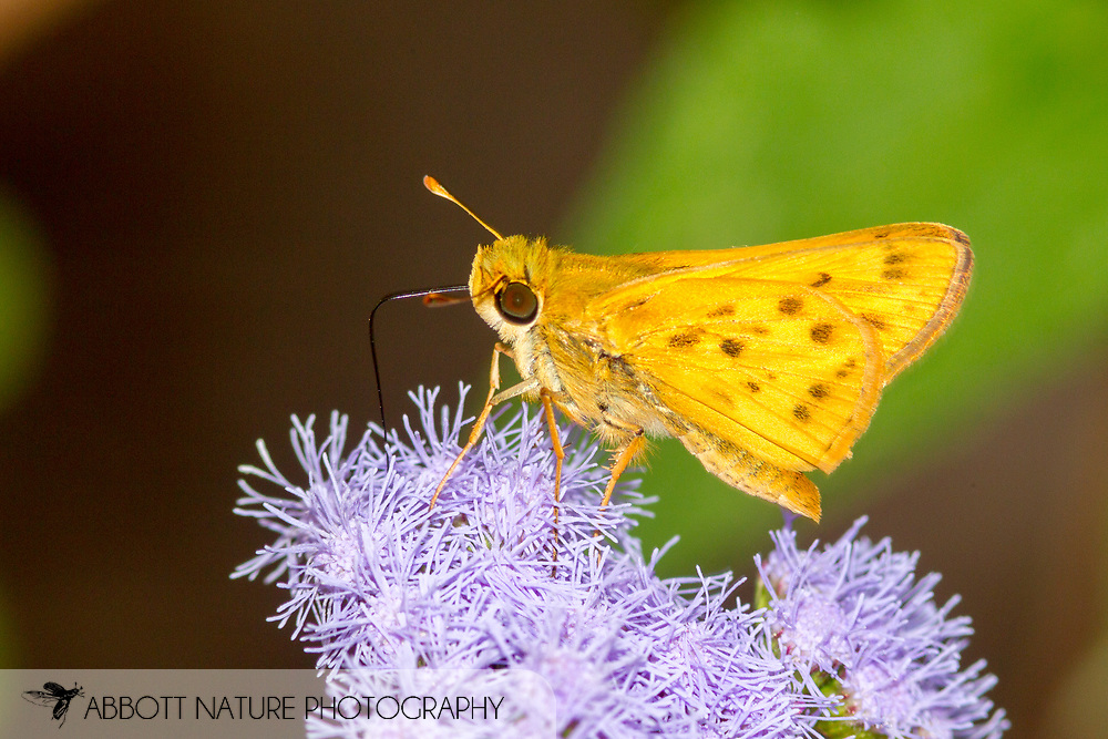 Fiery Skipper - Hodges#4013 (Hylephila phyleus)<br /> United States: Alabama: Tuscaloosa Co.<br /> Tulip Tree Springs off Echola Rd.; Elrod<br /> 6-Oct-2017<br /> J.C. Abbott #2999