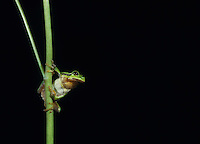 Tree frog balancing on stalk