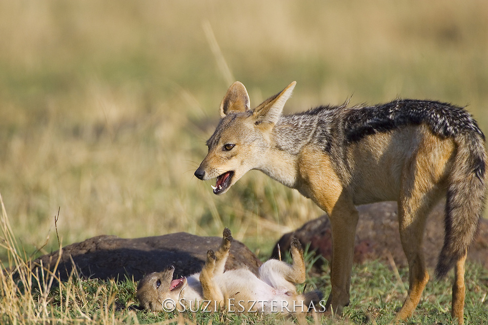 Black-backed Jackal<br /> Canis mesomelas<br /> Playing with four week old pup (s)<br /> Masai Mara Triangle, Kenya
