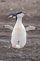 Chinstrap penguins, Pygoscellis antarcticus at Baily Head on Deception Island in Antarctica.
