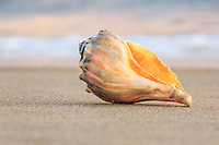 Whelk shell in the surf on the beach on Hatteras Island.