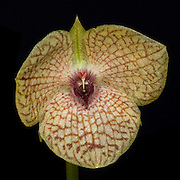 Telipogon santiagocastroviejoi, an orchid near the Interoceanic highway in Peru