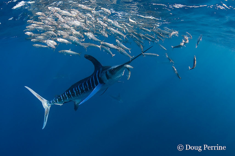 striped marlin, Kajikia audax (formerly Tetrapturus audax ), feeding on baitball of sardines or pilchards, Sardinops sagax, off Baja California, Mexico ( Eastern Pacific Ocean ); the marlin has one sardine caught by the tail, and another making a visible bulge in its throat, while a third appears to be escaping (dm)