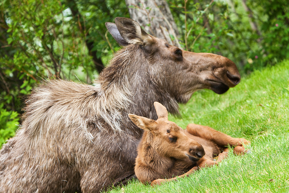 Less than a month old, a newborn moose calf sleeps next to her mother in the relative safety of a residential backyard in Eagle River in Southcentral Alaska.  Spring. Afternoon.