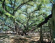 Banyan Tree, Lahaina, Maui, Hawaii<br />