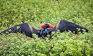 Male Frigatebird attempting to attract a mate, Galapagos