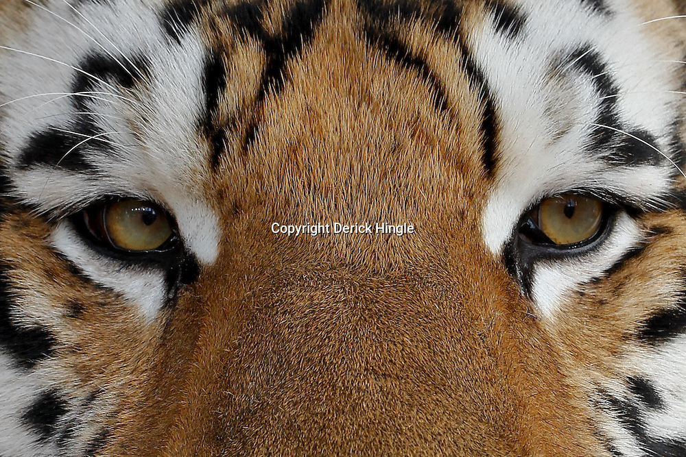 October 22, 2011; Baton Rouge, LA, USA; A detailed view of the eyes of LSU Tigers mascot Mike VI in his cage prior to kickoff of a game against the Auburn Tigers at Tiger Stadium.  Mandatory Credit: Derick E. Hingle-US PRESSWIRE / © Derick E. Hingle 2011