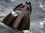 New England Humpback Whales, Stellwagen Bank, Massachusetts, 4 July 2006