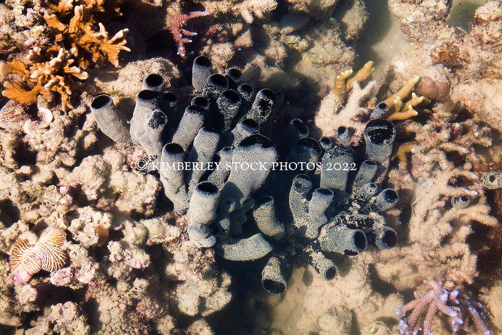 A black sponge in Wailgwin Lagoon on the Kimberley coast