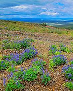Lupines (Lupinus sp.) blossoms at Ogilvie Summit<br />