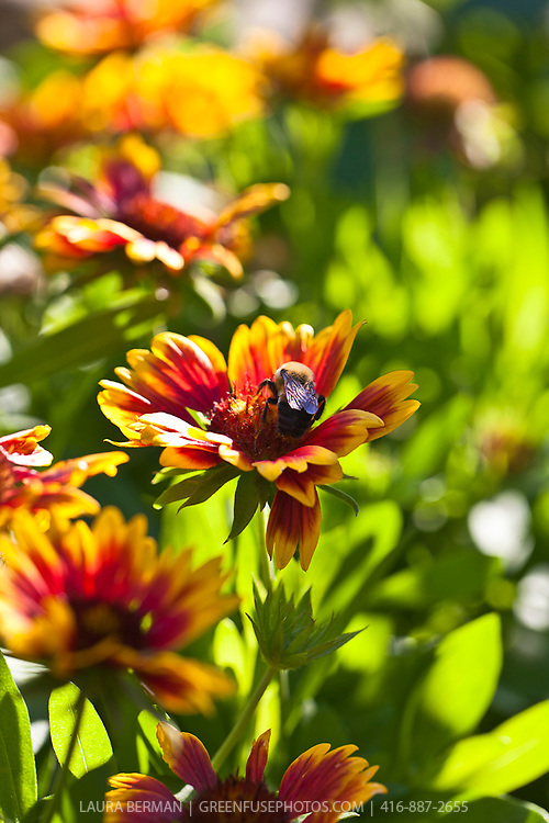 A large bumblebee on an Arizona Sun Blanket Flower (Gaillardia grandiflora 'Arizona Sun').