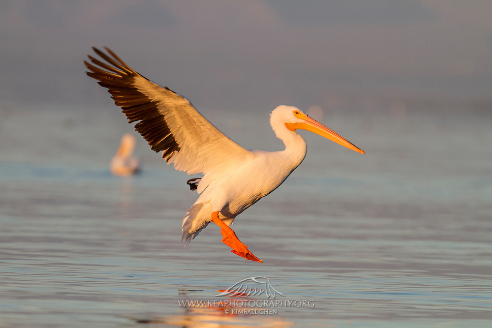 American White Pelican in flight, skimming above Salton Sea, California
