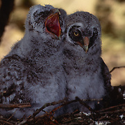 5 week old great gray owl chicks nesting in an old growth forest during spring in Montana