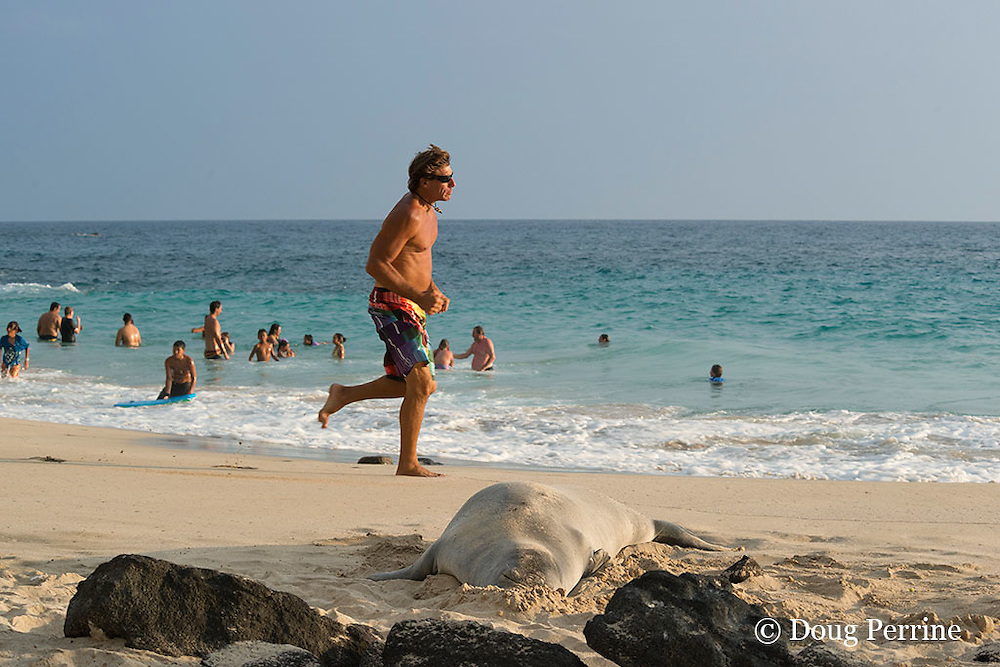 man engages in seal streaking ( deliberate violation of SPZ or seal protection zone, marked off to protect Hawaiian monk seal, Neomonachus or Monachus schauinslandi, Critically Endangered species ); he is running close past a 7 year old male seal resting on the  beach in an attempt to provoke volunteer seal guardians who have been trying to keep people away from the seal; La'aloa or Magic Sands Beach Park, Kailua Kona, Hawaii ( Big Island ) ( Central Pacific Ocean )