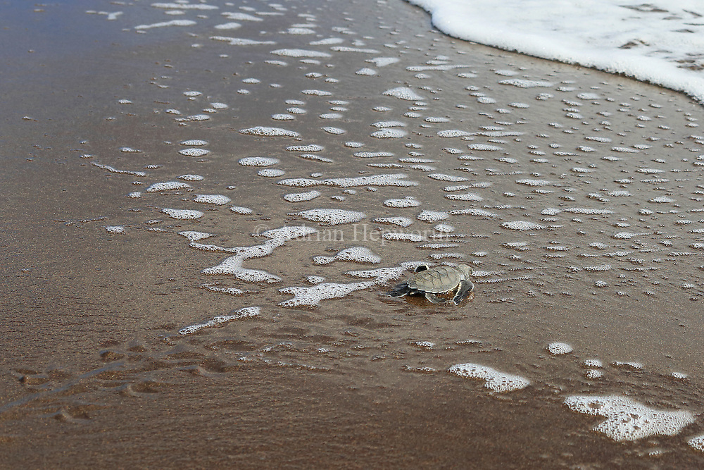 Green turtle hatchling (Chelonia mydas) running to the ocean in Tortuguero National Park, Costa Rica.