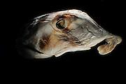 Plownose Chimaera (Callorhinchus callorynchus) Picture was taken in cooperation with the Zoological Museum University of Hamburg | Pflugnasenchimäre (Callorhinchus callorynchus) Das Bild entstand in Zusammenarbeit mit dem Zoologischen Museum Hamburg (ZMH), ZMH 115396 (ISH 328-1978);17.05.1978; 65°34'W, 45°47'S; Trawl survey Walther Herwig, 540/78, 200'-BT; 82 m