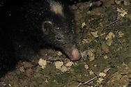 Palawan stink badger, Mydaus marchei, Blaireau de Palawan , Palawan stinkgrevling , tejón mofeta de Palawan, Palawan-Stinkdachs