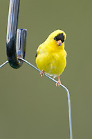 American Goldfinch (Carduelis tristis) perched on fence   Photo: Peter Llewellyn