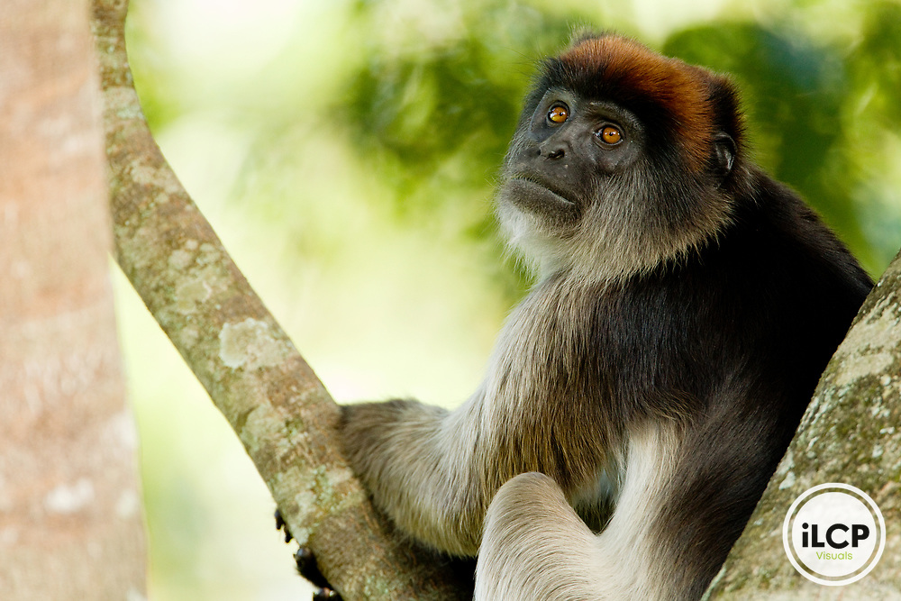 Eastern Red Colobus (Procolobus rufomitratus) in tree, Kibale National Park, western Uganda