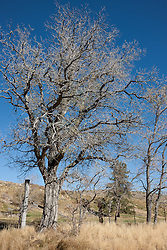 """Tree in Nevada 1"" - This old cotton wood tree was photographed in Nevada."
