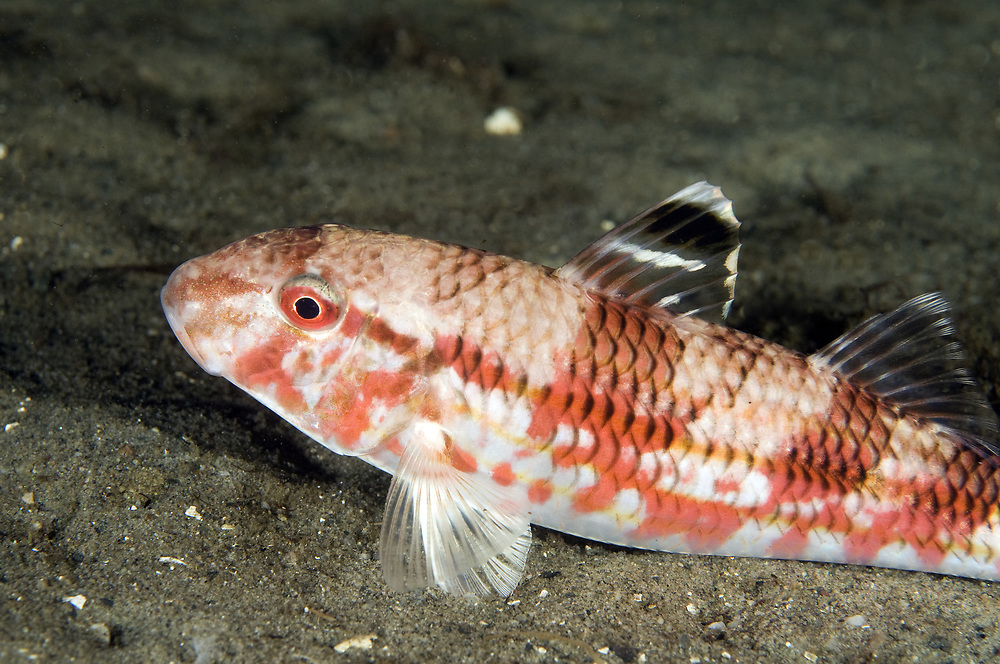 Red Mullet (Mullus surmuletus).   Location: Stavanger, Norway