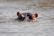 Semi submerged hippopotamus, St Lucia Wetlands, South Africa.