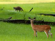 A White-tailed deer(Doe) keeps a close eye on a crossing racoon. Savannah, GA