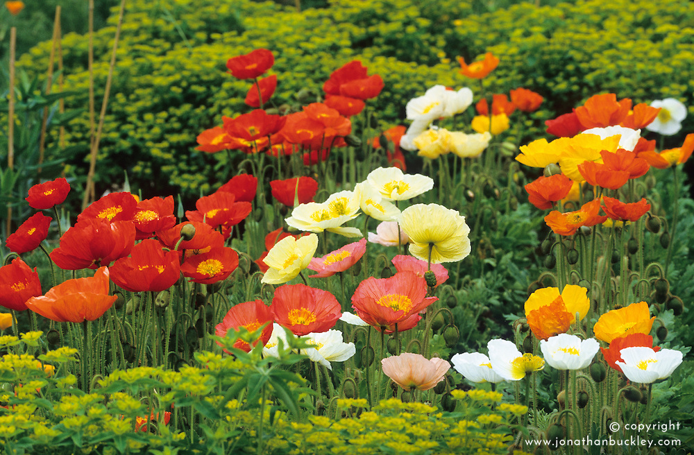 Papaver nudicaule 'Meadow Pastels' and 'Red Sail' in the cutting garden with Euphobia oblongata. Iceland poppy, Arctic poppy