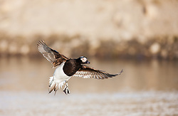 Long-tailed Duck (Clangula hyemalis) in Spitsbergen, Svalbard Spitsbergen, Svalbard