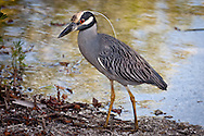 A yellow crowned night heron stalks prey in the Ding Darling wildlife refuge.