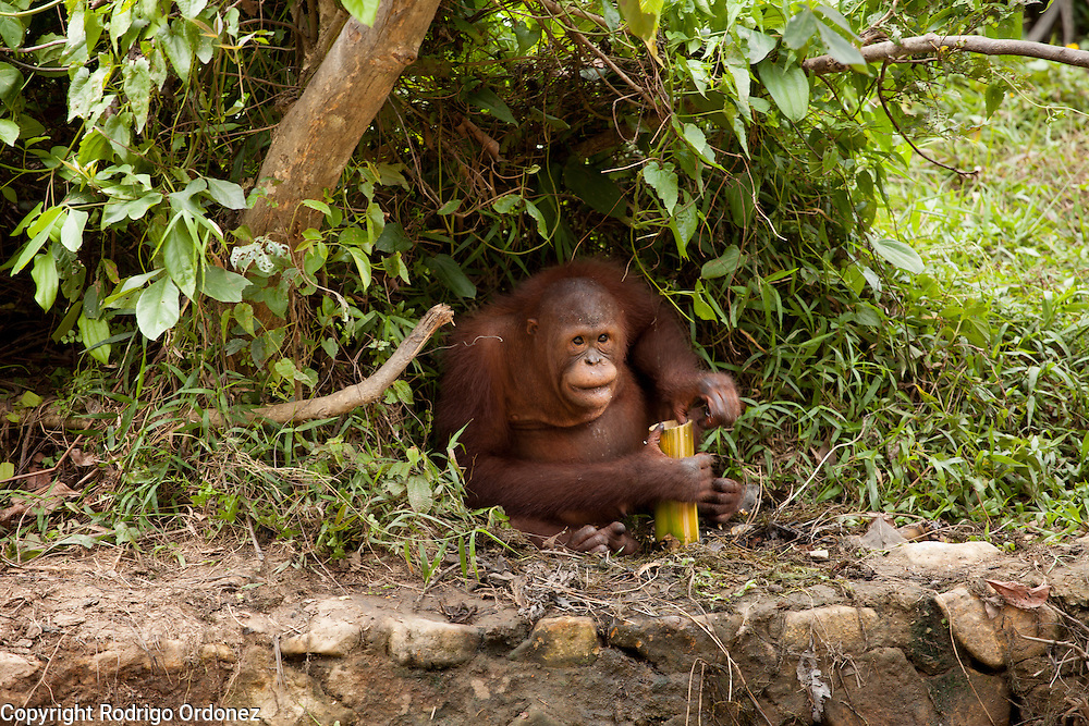 An orangutan eats food provided by the keepers at the sanctuary run by the Borneo Orangutan Survival Foundation in the Samboja Lestari conservation area in Kutai Kartanegara district, East Kalimantan, Indonesia, on March 13, 2016. This sanctuary offers a natural environment to orangutans that cannot be returned to the wild because of their severe disabilities or because they were raised in captivity and can no longer learn forest skills. Bornean Orangutans (Pongo pygmaeus) are classified as Endangered by IUCN because of the loss of rainforests to agriculture or fires, poaching and the pet trade. <br /> (Photo: Rodrigo Ordonez)